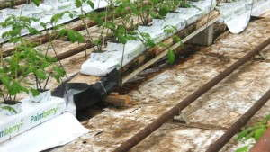 Irrigation And Fertilizer Tips For New Vegetable Growers