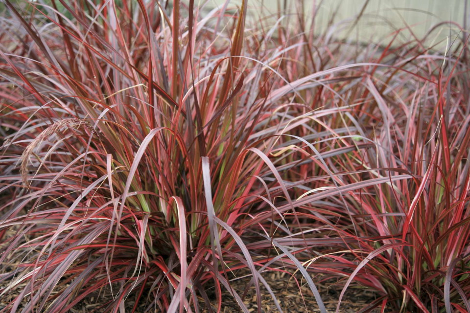 Ornamental Grasses A Few Thoughts Greenhouse Grower