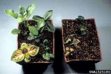 Rhizoctonia on coleus. Department of Plant Pathology Archive, North Carolina State University, Bugwood.org