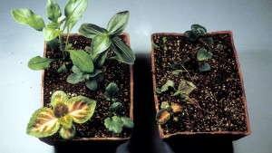 Greenhouse Diseases 101: Rhizoctonia