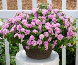 Petunia 'Surfinia Summer Double Pink'