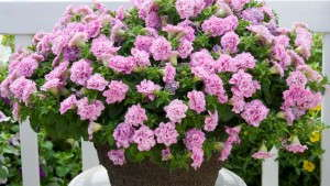 Tips for Growing Surfinia Summer Double Petunias