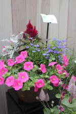 Petunias, lobelia, senecio and celosia make up just one of the many One Touch container combinations.