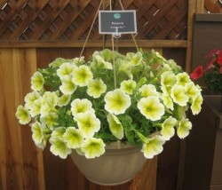 Petunia 'Sunshine Ray'