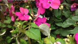 Impatiens Downy Mildew Found In Ohio