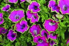 Petunia 'Kermit Purple'