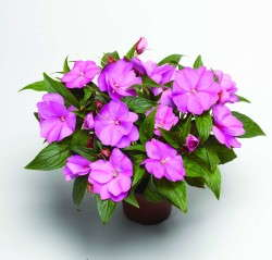 Impatiens 'Florific Lavender'