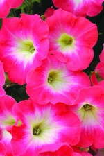 Petunia 'Flash Mob Redtastic'