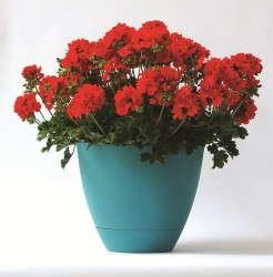 Pelargonium 'Double Take Scarlet'