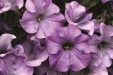 Petunia 'Surfinia Heavenly Blue'