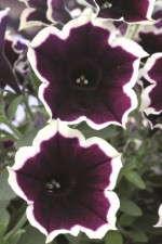Petunia 'Cascadias Rim Magenta'