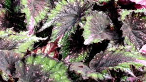 <i>Begonia</i> 'Shadow King Green-pink Tips': 2013 Medal Of Excellence Editor&#8217;s Choice Award Nominee