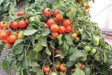 'Profusion Red' Tomato from Vegetalis