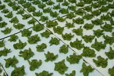 Floating Lettuce Production