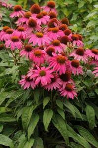 Echinacea 'PowWow Wild Berry'
