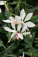 Gaura 'Sparkle White' from Kieft Seed has a long bloom time and shorter crop time than other seed-produced gauras.