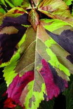 Acalypha 'Jungle Cloak'