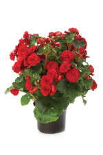 Begonia 'Vermilion Red'