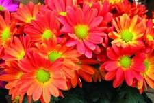Chysanthemum 'Hilo Tangerine'