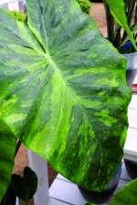 Colocasia 'Morning Dew'