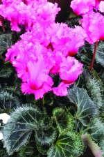 Cyclamen 'Rocolina Light Pink'