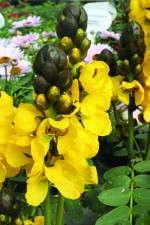 'Popcorn Plant'