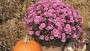 Chrysanthemum 'Chelsey Pink'