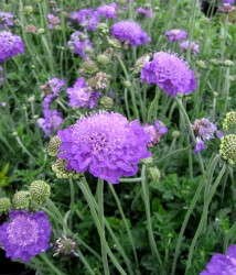 Scabiosa 'Mariposa Violet' is just one of the many perennials available in the Essential Perennials line.