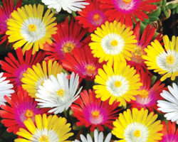Delosperma  Jewel Of Desert Mix