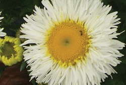 Leucanthemum Real Series Features Improved Disease Resistance And Long-Lasting Blooms