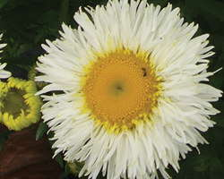 Leucanthemum  'Real Galaxy'