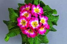 Primula 'Danova Rose & White Bicolor'