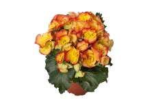 Begonia 'Amstel Rio'