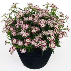 Dianthus 'Olivia'