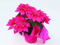 'Luv U Pink' Poinsettia
