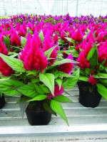 Celosia argentea 'Intenz Red'
