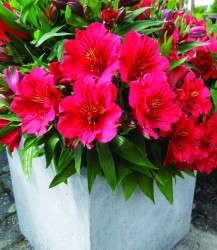 Alstroemeria 'Princess Lily Kate'