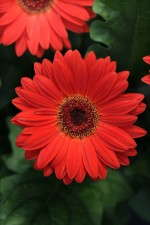 Gerbera 'Midi Revolution Scarlet With Dark Eye'
