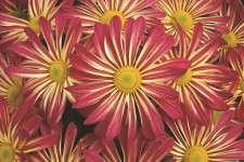 Chrysanthemum 'Apple Valley Cherry'