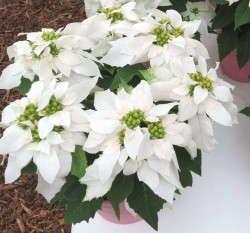 Euphorbia 'Princettia Max White'