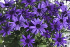 Pericallis 'Senetti Super Blue'