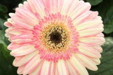 Gerbera 'Cartwheel Strawberry Twist'