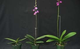 How Temperature and Photoperiod Impact Orchid Spiking