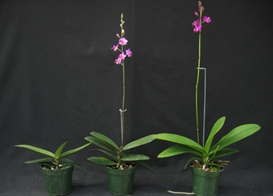 How Temperature And Photoperiod Impact Orchid Spiking Greenhouse