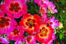 Rosa Sweet Spot Calypso