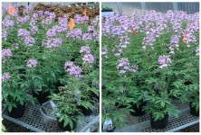 Cleome watered by hand on the left and watered with a tensiometer on the right. Orange flags in pots can give a sense of height differences.