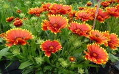 Gaillardia 'Sunset Flash'