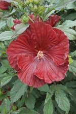 Hibiscus 'Summerific Cranberry Crush'