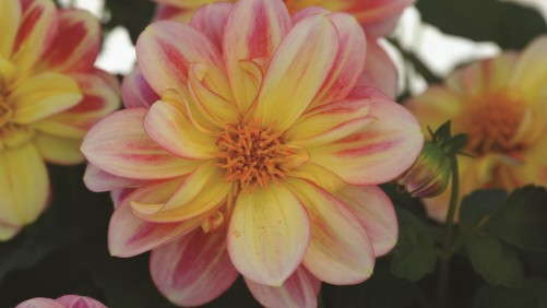 4 New Dahlias For Your 2014 Season