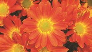 Chrysanthemum 'Hilo Tangerine' from Syngenta/Yoder